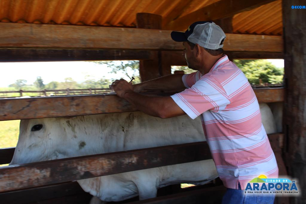 Imagem destaque notícia Prefeitura de Araporã inicia campanha de vacinação contra aftosa